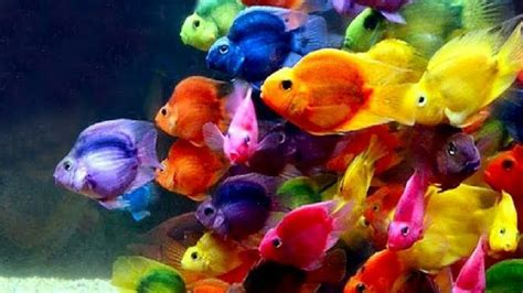 colorful aquarium fish 10 most colorful freshwater fish for your aquarium