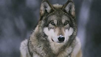 Wolf Wallpapers 1080 Werewolf 1920 Face Wallpapersafari