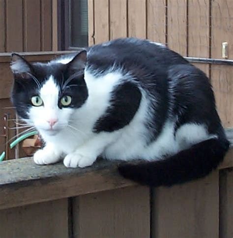 black and white cat file black white cat on fence jpg wikimedia commons
