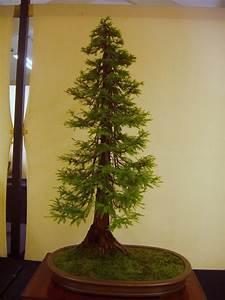 Bonsai Garten Hamburg : dawn redwood bonsai bonsai pinterest ~ Lizthompson.info Haus und Dekorationen
