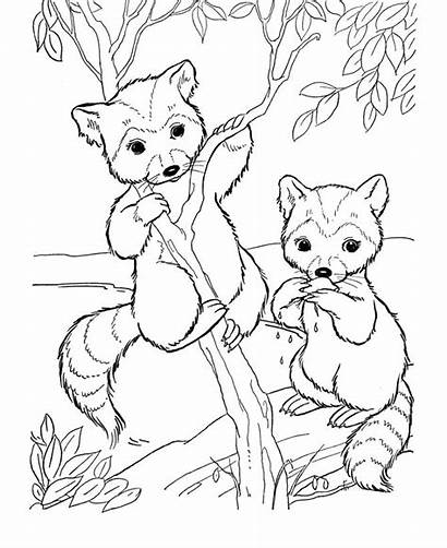 Coloring Animal Pages Wild Raccoon Bandit Face