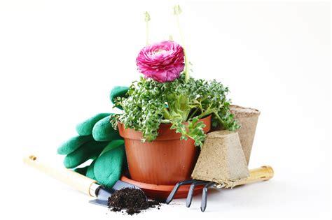 zimmerrosen im topf pflege ranunkel als zimmerpflanze pflegen 187 so gedeiht sie bestens
