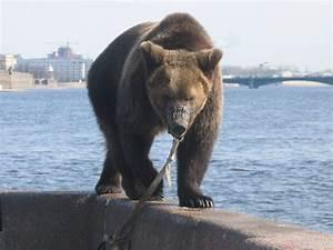 File Bear  Ursus Arctos  In St Petersburg  April 2005 Jpg
