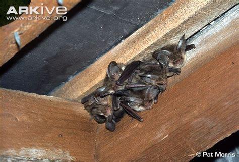 brown long eared bat photo plecotus auritus a11009