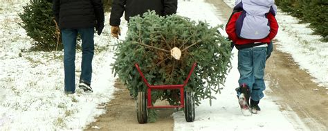 christmas tree farms upstate ny governor cuomo encourages new yorkers to buy local trees 5890