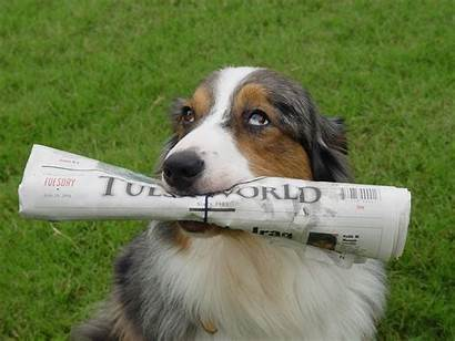 Tulsa Winston Newspaper Retriever Paper Eyes Shepherd