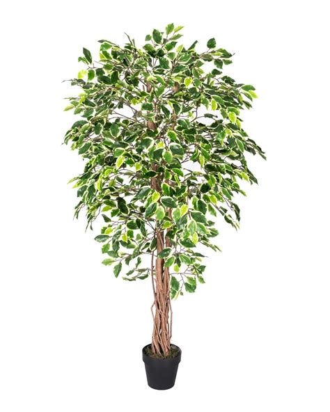 ficus tree variegated green ficus tree artificial plant with twisted trunk 6 ft homescapes