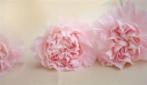 Rosa Blumen by Nelken Blumen Rosa 183 Kostenloses Foto Auf Pixabay