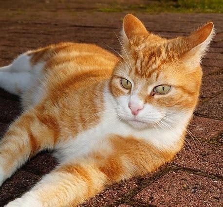The Tabby Cat Breeds Encyclopedia