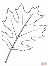 Leaf Oak Coloring Shumard Tree Printable Drawing sketch template