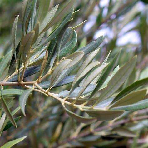 olive tree leaves olea europaea olive subtropical mediterranean 1179