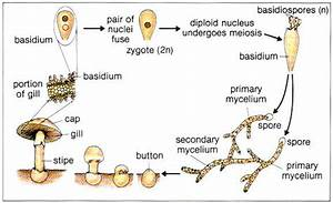 Life Cycle Of A Mushroom Showing The Cute Button Stages