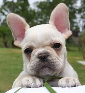 French Bulldog Breeder Pictures | Dog breeds and Puppies ...