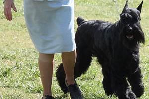 Dog Breed Exercise Chart Standard Schnauzer Breed Information Standard Schnauzer