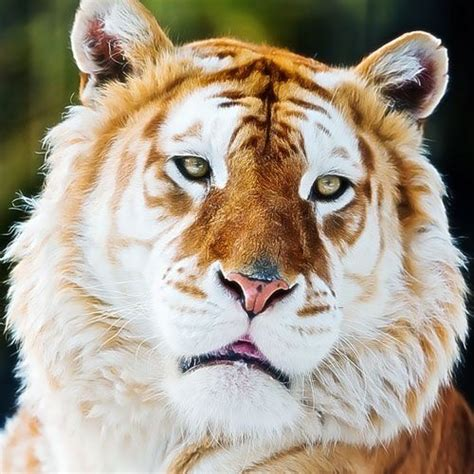 Golden Tiger Tigers Big Cats Animals