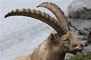 Calphotos  Capra Ibex Ibex