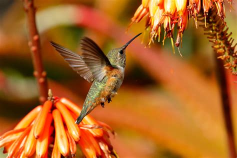naturalist hummingbirds taste food