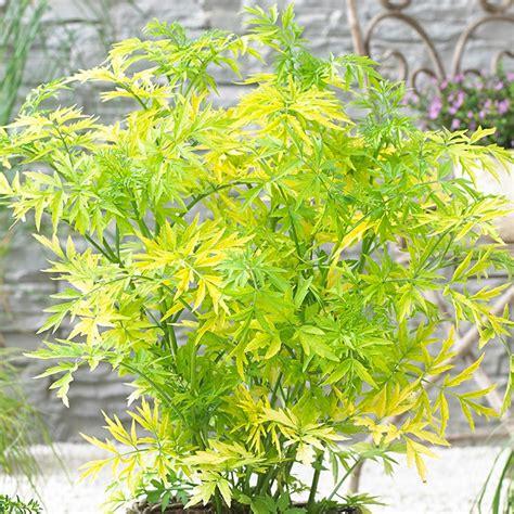 sambucus nigra golden tower deciduous hardy compact