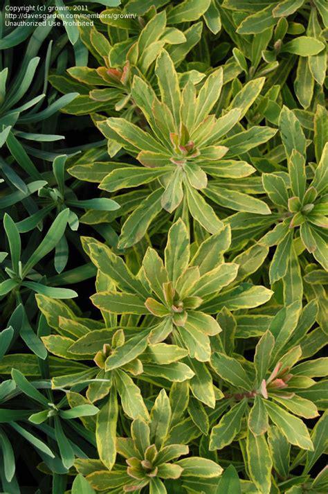 euphorbia growing conditions plantfiles pictures euphorbia martin s spurge wood spurge ascot rainbow euphorbia x