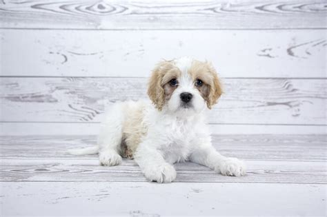 Do Cavachons Shed by Cavachon The Complete Care Guide To This Teddy