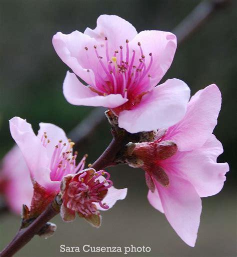 fiori di the fiori rosa fiori di pesco foto immagini piante fiori