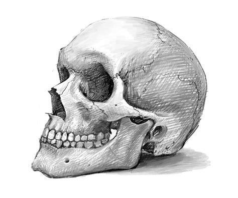 Kleurplaat Dieer by Pictures How To Draw A Realistic Skull Drawings