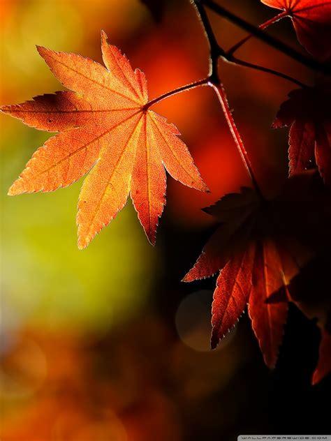maple leaf wallpaper gallery