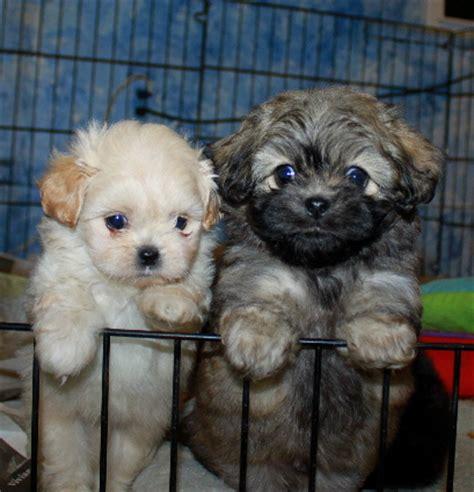 peekapoo pekeapoo puppies colors