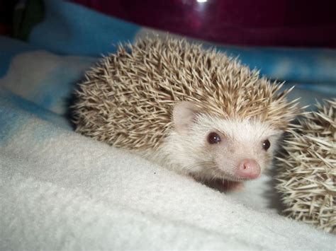 pygmy hedgehog lovely friendly african pygmy hedgehogs sold leeds west yorkshire pets4homes