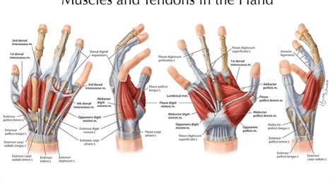 Tendons don't get good blood flow so this prolotherapy procedure creates a significant amount of it. Muscles and Tendons in the Hand - Art as Applied to Medicine