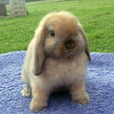 lop rabbit lop rabbit