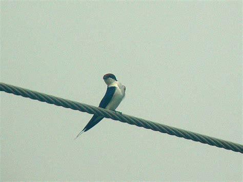 Wire-tailed Swallow (Trådstjärtsvala) - Hirundo smithii ...