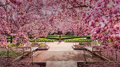 Bing Cherry Dc Blossom Blossoms Washington Mall