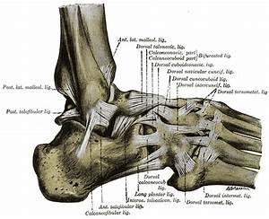 Calcaneofibular ligament - Wikipedia  Calcaneofibular