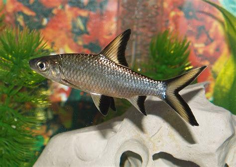 bala shark bala shark fishes