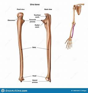 The Structure Of The Ulna Bone With The Name And