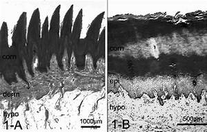 Histology Of The Foot Pad  In Dogs  The Elongated Spike