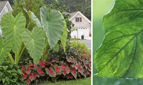 tropical plants zone 7 using architectural plants in the garden the garden glove