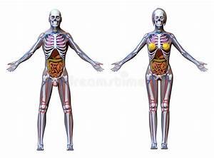 Male Female Anatomy Stock Illustrations  U2013 4 692 Male