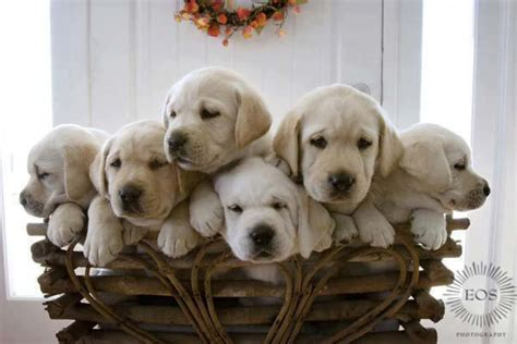 basket full  puppies lovely labradors pinterest