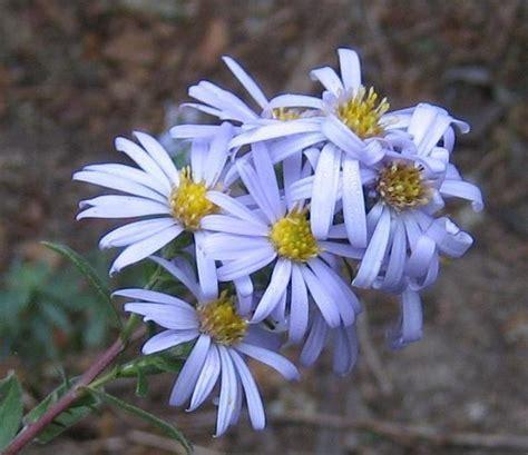 common california flowers asterchilensiscommoncaliforniaaster jpg