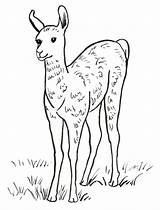 Llama Coloring Pages Printable Drawing Printables Face Samanthasbell Leave Today Getdrawings Template sketch template