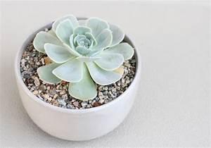 Plante Succulente Espèces Représentatives : echeveria conseils comment planter et entretenir cette ~ Nature-et-papiers.com Idées de Décoration