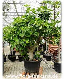 Feigenbaum Im Garten : ficus carica xxl violette feigen pflanzen feigenbaum flora toskana ~ Orissabook.com Haus und Dekorationen