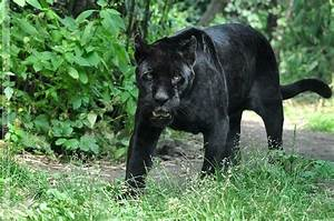 "male black Jaguar (Panthera onca) ""Joschi"" - Zoo Vienna ..."