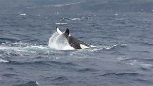 Orcas With Futurismo Azores Whale Watching