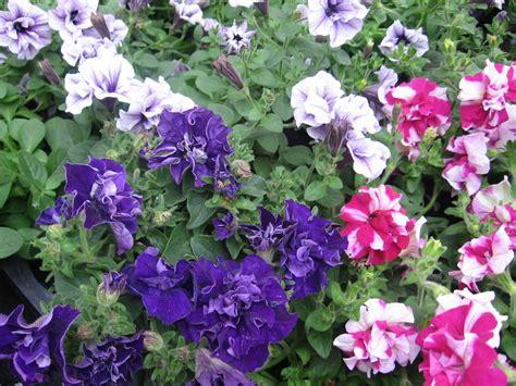 Balkonpflanzen Sehr Sonnig by Balkonpflanzen Sehr Sonnig 21 Balkonpflanzen Die Zu Ihrem