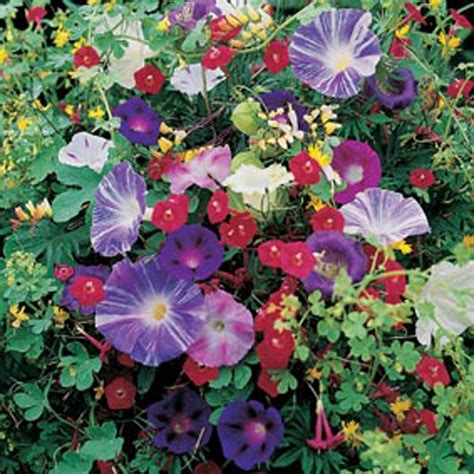 Mixed Climbing Annuals Seeds From Mr Fothergill's Seeds