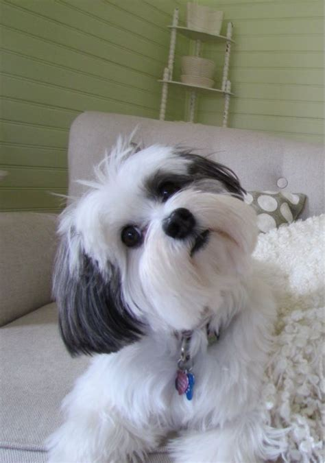 Why Is My Lhasa Apso Shedding by 25 Best Ideas About Lhasa Apso On Lhasa Apso