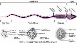 File Mouse- Spermatozoa Em And Diagram Jpg